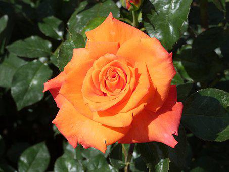Rose, Orange, Fragrance, Petals, Garden Rose, Summer