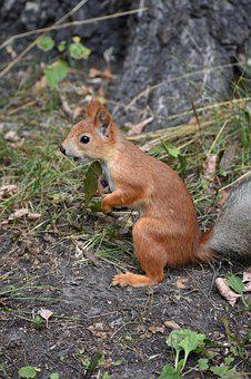 Squirrel, Redhead, Young, Park, Animal, Nature, Rodent