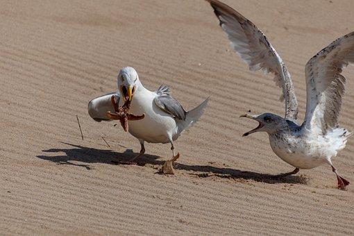 Gulls, Food, Starfish, Water, Water Bird, Feed, Animal