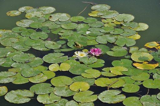 Water Lilies, Waterlilies, Pond, Flower, Water, Green