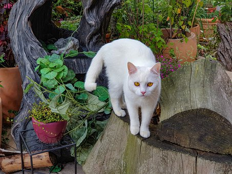 White Cat, In The Garden, Beautiful, Noble