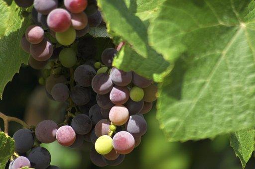 Grapes, Wine, Nature Vineyard, Bunch, Red, Ripening