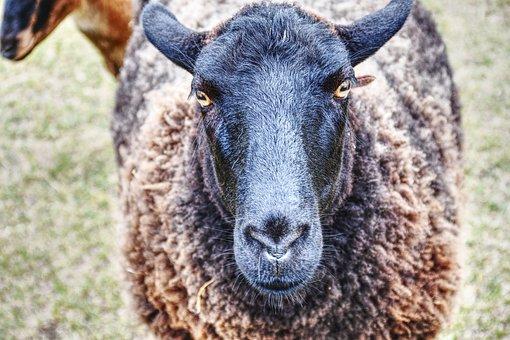 Sheep, Black, Animal, Wool, Animals