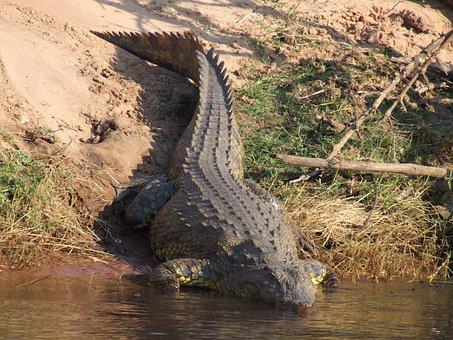 Crocodile, Botswana, Africa, River, Aligator, Reptile