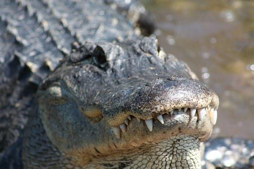 Alligator, Crocodile, Mississippi, Teeth, Animal