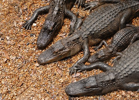 American Alligators, Alligators, Danger, Reptile