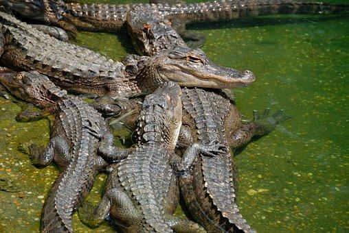American Alligators, Alligator, Reptile, Wildlife