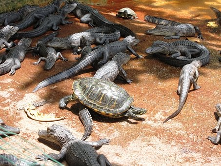 Wildlife, Alligator, Crocodile, Danger, Reptile, Animal