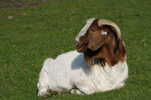 Goat, Billy Goat, Horns, Domestic Goat, Animal