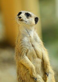 Meerkat, Animal, Guard, Keep An Eye Out, Watch, Curious