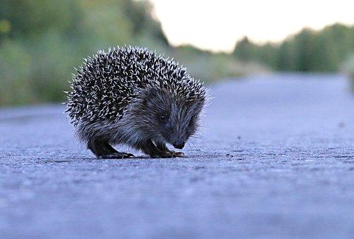 Hedgehog, Barb, Road, Little, Animal, View, Pedestrian