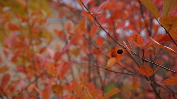 Autumn, Fall Colors, Journal Of The Bush, Berry, Last