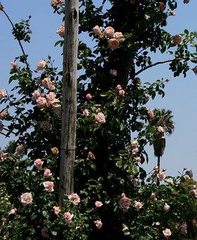 Rose, Pale Pink, Small, Rambler, Climber, Post, Sky