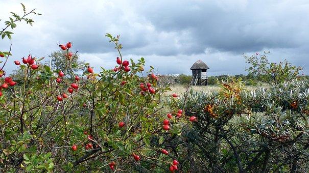 Rose Hip, Sea Buckthorn, Baltic Sea, Landscape, Coast