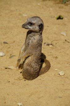 Meerkat, Cute, Animal World, Sand, Zoo, Dry, Curious