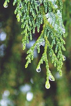 Cypress, Drop Of Water, Beaded, Tree