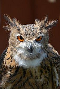 Owl, Bird Portrait, Bird, Feather, Night Active, View
