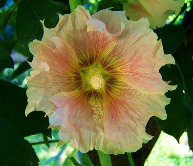 Pale Pink Mauve, Garden Mallow Rose, Summer Flower