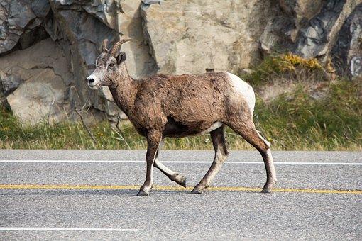 Mountain Goat, Jasper, Alberta, Canada, Goat, Mountain