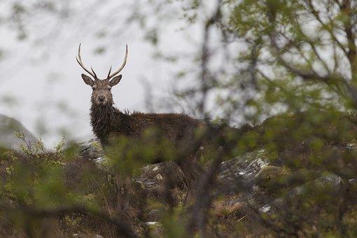 Red Deer, Scotland, Highlands, Wildlife, Deer, Buck
