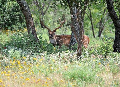 Wild Animal, Deer, Wild, Animals, Nature, Life, Horns
