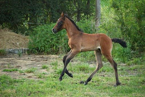Horse, Foal, Suckling, Brown Mold, Thoroughbred Arabian