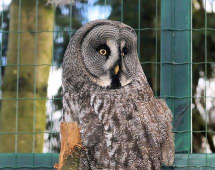 Owl, Lapland, Bart Owl, Great Grey Owl, Mouse Hunter