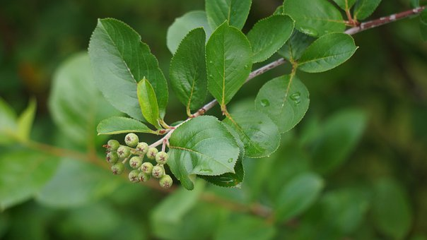 Aronia Berries Are, Raw, Matures, Berry Clusters