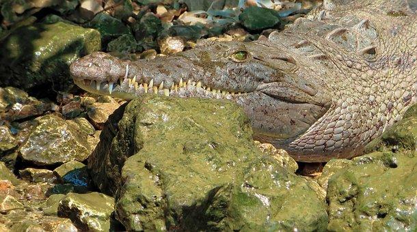 Mexico, Sumidero, Crocodile, Mimicry, Tawny, Reptile