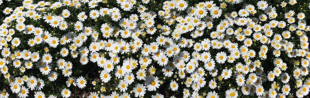 Daisy, Margaret, Countless, One Side, Flower Garden