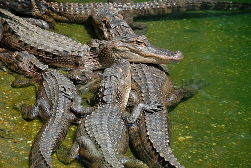 American Alligators, Alligator, Reptile, Wildlife