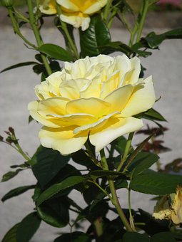 Pale Yellow Rose, Summer, Bright, Nature, Blossom