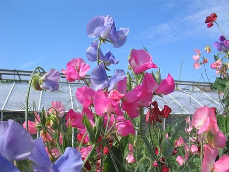 The Valleys, Sweet Pea, Flowers, Summer, Sunshine
