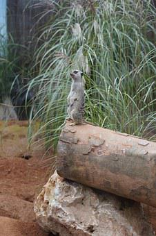 Meerkat, Supervisor, Supervision, Watch, Guard