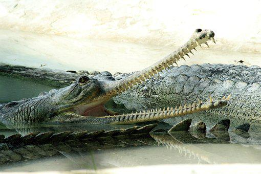 Crocodile, Water, Reptile, Alligator, Animal, Mouth