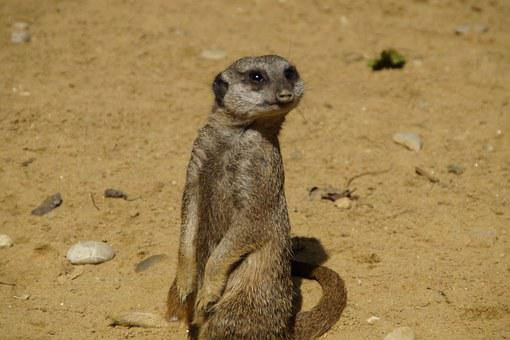 Meerkat, Cute, Animal World, Sand, Zoo, Dry, Curious