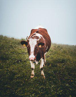Cow, Livestock, Alm, Animal, Agriculture, Nature