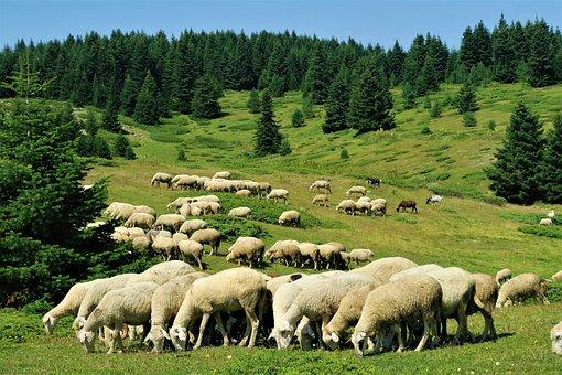 Sheeps, Herd, Animal, Nature, Forest, Land, Grassland