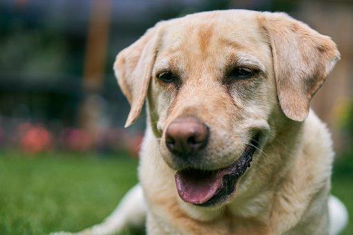Labrador, Dog, Animal, Head, Close Up, Sweet, Cute, Pet