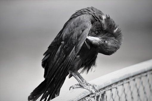 Corneille, Birds, Corvidae, Black, Anthracite, Pen