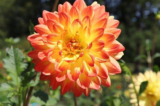 Dahlias, Yellow And Pink, Bicolor, Garden, Plant