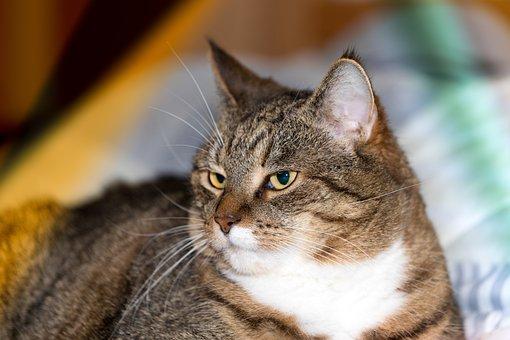 Cat, Domestic Cat, Tiger, Animal, Cat's Eyes, Portrait