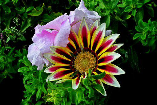 Gazania, Flowers, Nature, Garden, Closeup, Summer
