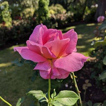 Rose, Flower, Pink, Garden, Buds, Floral, Colorful