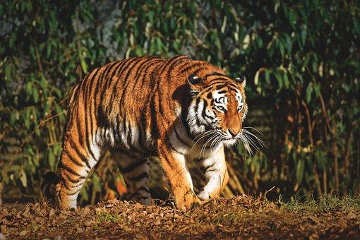 Tiger, Predator, Fur, Beautiful, Dangerous, Big Cat