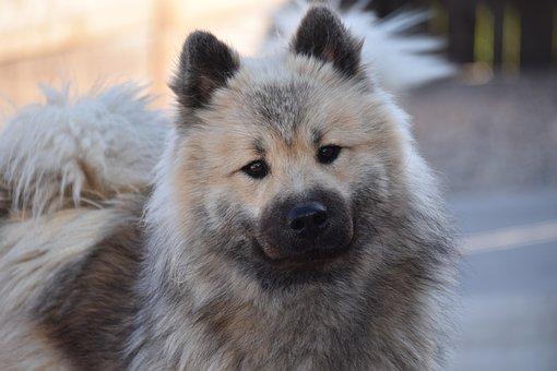 Dog, Dog Eurasier, Dog Pure Breed, Dog Olaf-blue