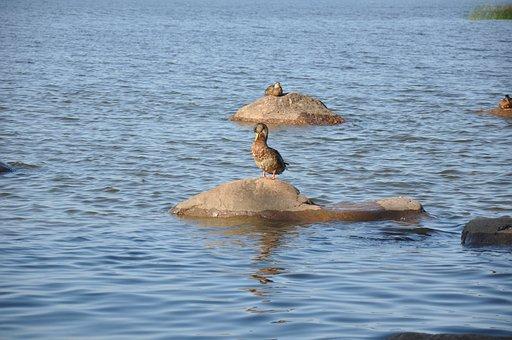 Duck, Water, River, Sea, Nature, Stones, Bird