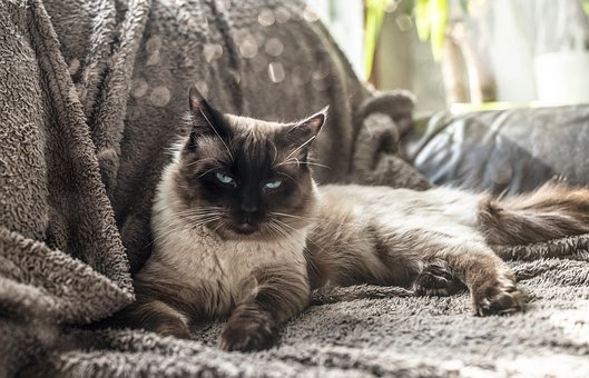 Cat, Ragdoll, Kitten, Animal, Blue, Feline, Pet