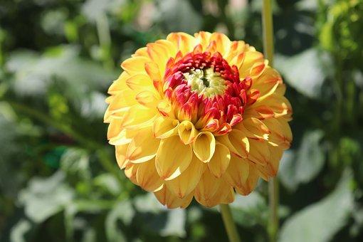 Dahlias, Bicolor, Orange And Yellow, Petals, Garden