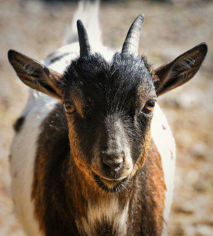 Goat, Animal, Nature, Mammal, Horns, Farm, Animal World